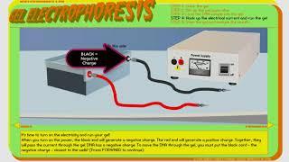Gel Electrophoresus Virtual Laboratory Short