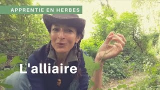L'alliaire : plante au goût d'ail à mettre dans les sandwitch