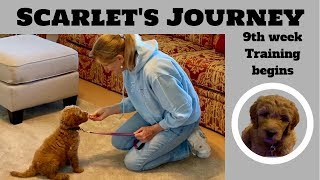 Training a Goldendoodle Puppy at 9 weeks old