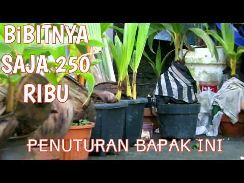 Nutrisi Bonsai Kelapa Media Air Youtube Download