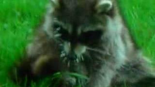 Poor Little Raccoon