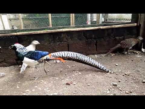 Video Ayam hias Lady Amherst Pheasant