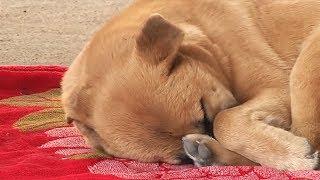 Каждую Ночь Собаке Снятся Кошмары. Она Не Спала Очень Много Дней