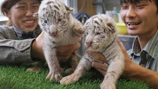 ホワイトタイガーの双子赤ちゃん=伊豆アニマルキングダム
