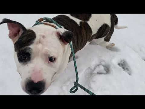 Polar, an adopted Pit Bull Terrier Mix in Chicago, IL_image-1