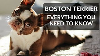 BOSTON TERRIER 101! Everything You Need To Know About Owning A Boston Terrier Puppy