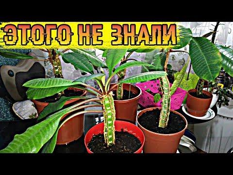 Это комнатное растение погубило здоровье не одного человека! Люди по-прежнему тащат его в дом...