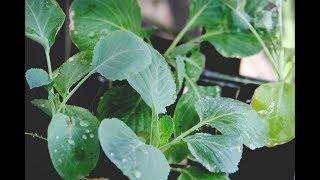 Выращивание рассады капусты видео