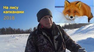 Как поймать лису в капкан на приманку зимой