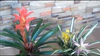 How to Care Bromeliad Plants (Indoor Plants Low Light)