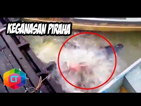 6 Momen Keganasan Ikan  Piranha