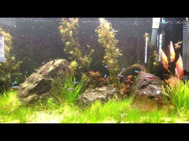 How to keep Cardinal Tetras: Species Sunday, Steve's Cardinal Tetras