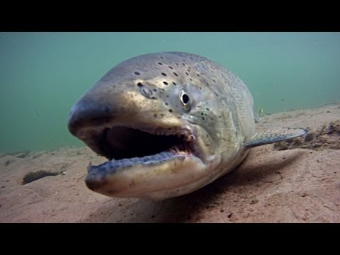 Underwater view of salmon life Tippy Dam, underwater river fishing video, GoPro camera action show