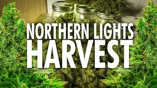 Northern Lights Autoflower Harvest and Dry Weight