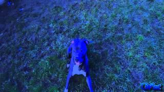 "My Dog ""Cube"".【Full HD】.American Staffordshire Terrier."