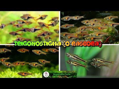 Trigonostigma (o Rasbora)