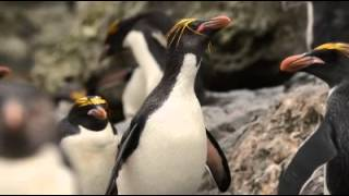 Macaroni Penguin head shake