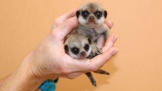 New Meerkat pups at Taronga!