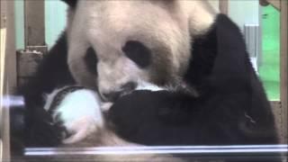 ジャイアントパンダ☆ふたごを抱っこする良浜ママ♪  Mother Panda And Twin Baby Pandas