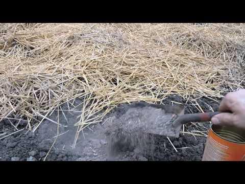 Megszabadulni a parazitáktól calamus-szal