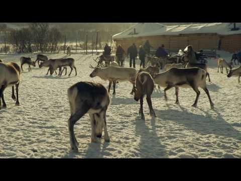 Rendieren voeren en Sami geschiedenis