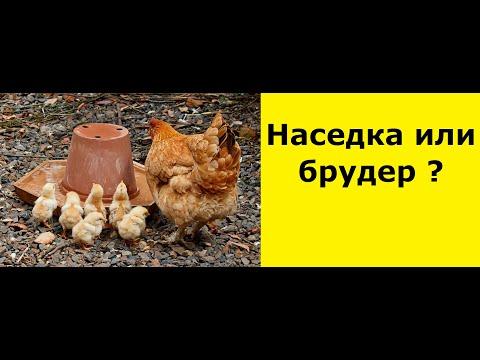 , title : 'Пропаивание и выращивание цыплят с наседкой\квочкой\ в брудере. Супер добавка для  яйценоскости кур.