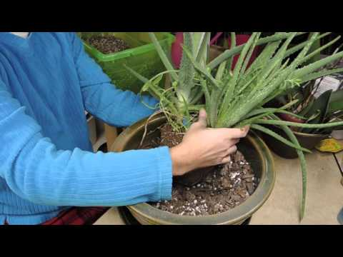 Re-Potting a Top Heavy Aloe