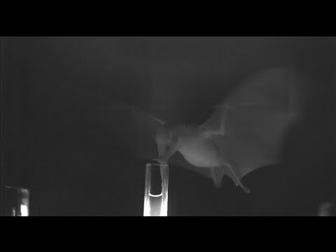 Bats Eating With Nectar-Pumping Tongues Are Weirdly Cool