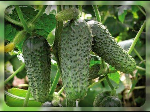 Герман - мой самый любимый и самый урожайный сорт огурца