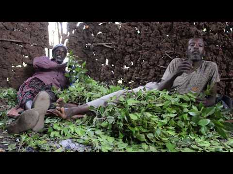 Chewing khat in Harar, Ethiopia - YouTube