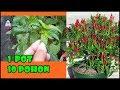 TIS BASMI Daun Keriting Bunga RontokCabe Anda Jadi SehatLebat Buah Health Chili Free Pests