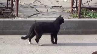 Певучий кот, или самый разговорчивый кот в мире)
