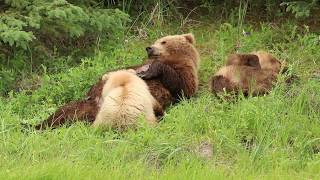 Bear Family Eats Lunch and Naps - Part 3