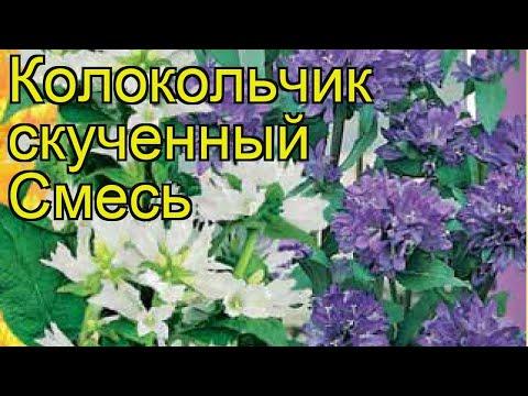Колокольчик скученный Смесь. Краткий обзор, описание характеристик campanula glomerata
