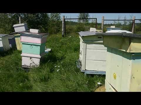 Какой взяток у пчел в августе.  Скоро качать мед