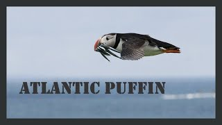 Atlantic puffin sound / Puffin call / Atlantic puffin bird