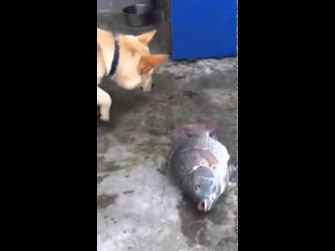 Chú chó thông minh và dễ thương nhất hành tinh. Lùa nước cứu cá mắc cạn