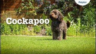 Cockapoo Puppies and Dogs: Temperament, Lifespan & more | Petplan