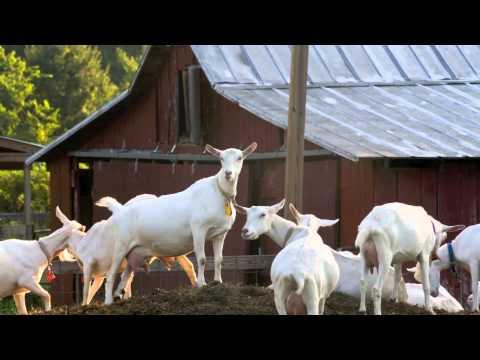 , title : 'Качественный домашний скот из штата Мэриленд