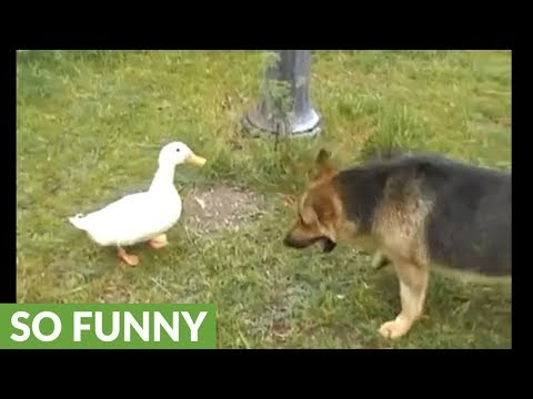 Dog And Duck Friends Exhibit Aggressive Playtime
