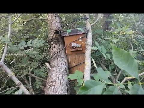 КАКУЮ из ДВУХ ЛОВУШЕК ВЫБЕРЕТ  БРОДЯЧИЙ РОЙ ПЧЁЛ ???Фильм о том как поймать рой пчёл.