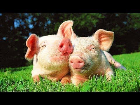 Découvre la ferme : le cochon