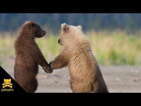 גורי דובים יוצרים רכבת - מתוק!