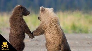 Смотреть онлайн Прикольные медведи стали паровозиком