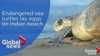 Hundreds of thousands of sea turtles lay eggs on beach in India
