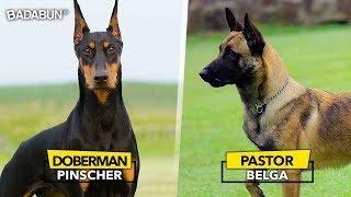8 Razas de perro que son mejor que un policía