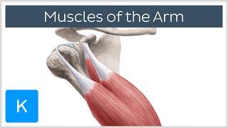 Arm Muscle Anatomy and Function Explained - Human Anatomy |Kenhub