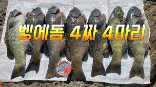 Opaleye rock fishing Store 87