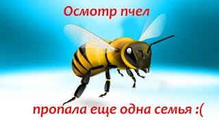Осмотр пчел, пропала еще одна семья :(