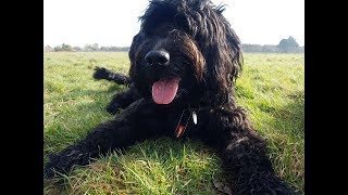 Lettie - 1 Year Old Labradoodle - 3 Week Residential Dog Training